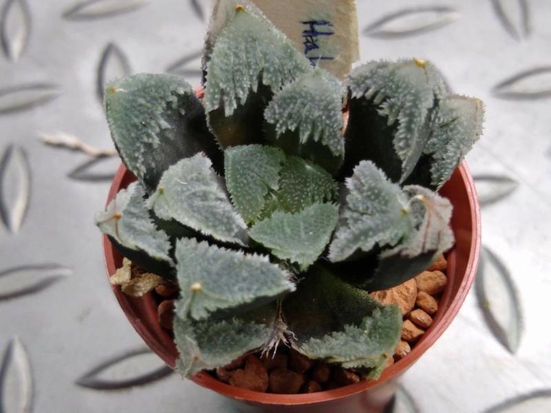 Cactus et succulentes chez Sougriwa (2021) - Page 2 Img_2922