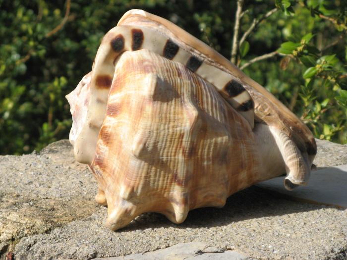 Cassis tuberosa (Linnaeus, 1758) Cassis11