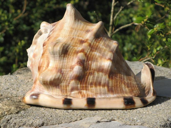 Cassis tuberosa (Linnaeus, 1758) Cassis13