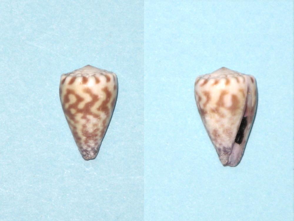 conus sponsalis Conus_12