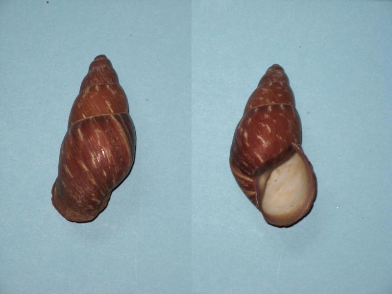 Chrysallis nigriceps Img_0411