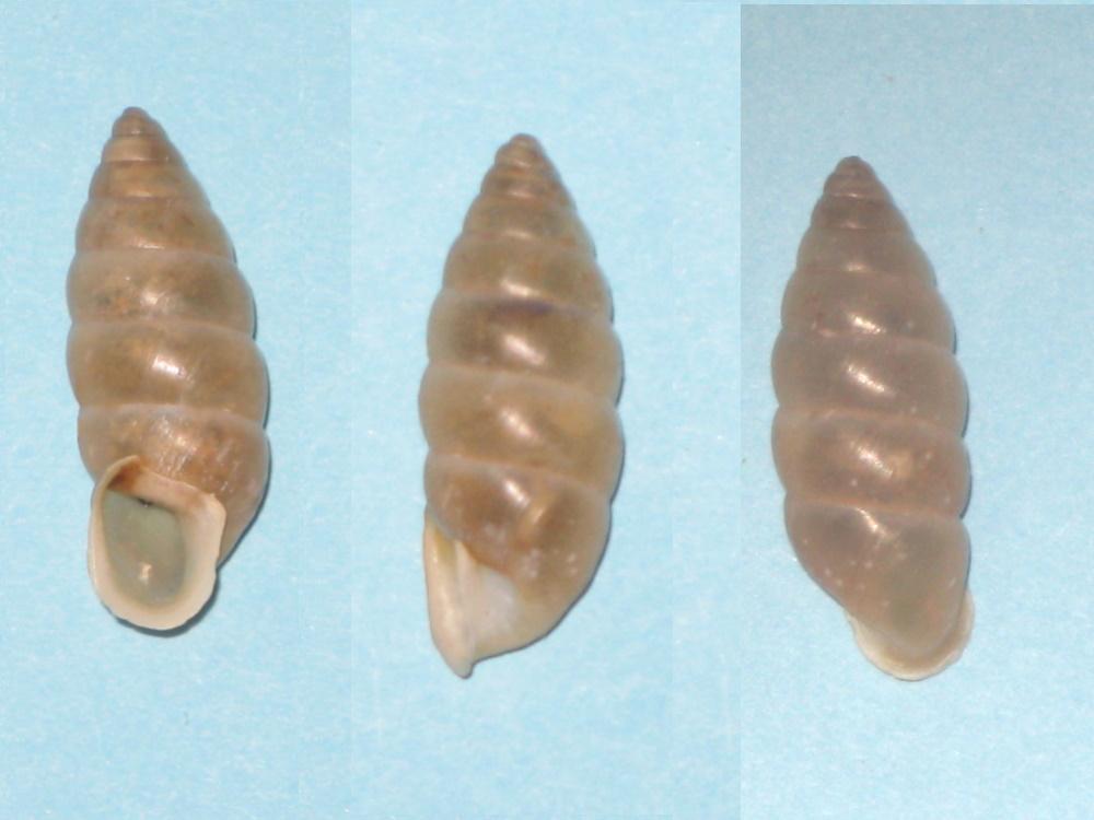 Eneridae : Mastus venerabilis (L. Pfeiffer, 1853) Img_0611
