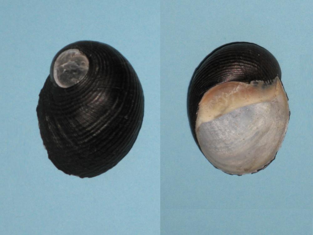 Neritodryas chimmoi - (Reeve, 1856) Nerita11