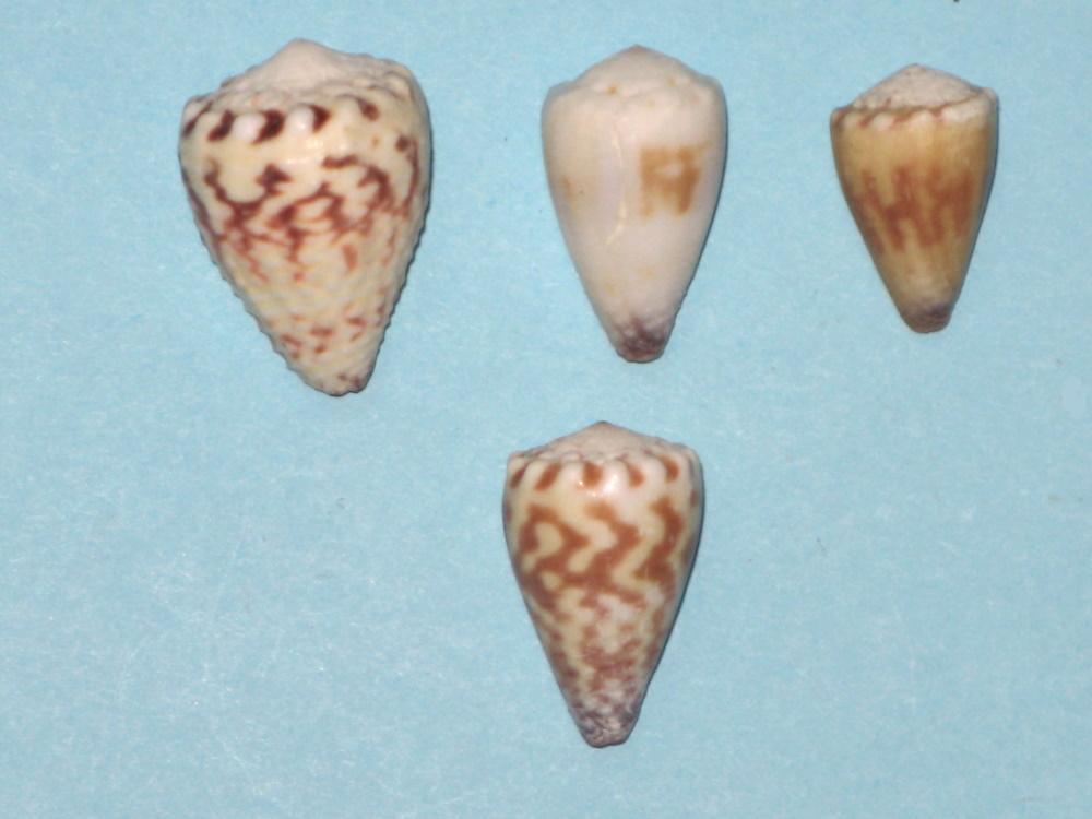 conus sponsalis Sponsa10