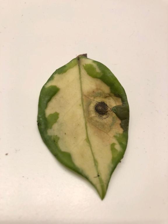 Hoya carnosa rubra - Schädling? Blatto10