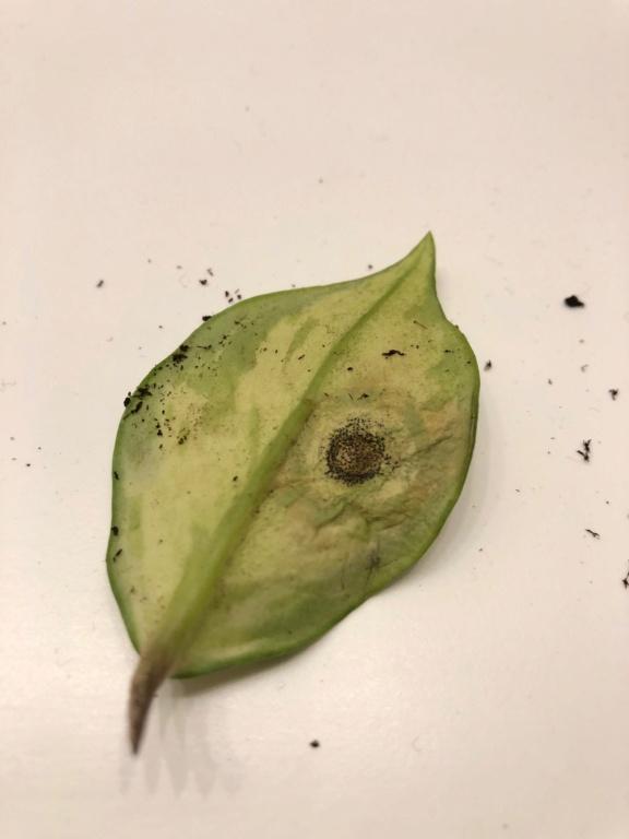 Hoya carnosa rubra - Schädling? Blattu10