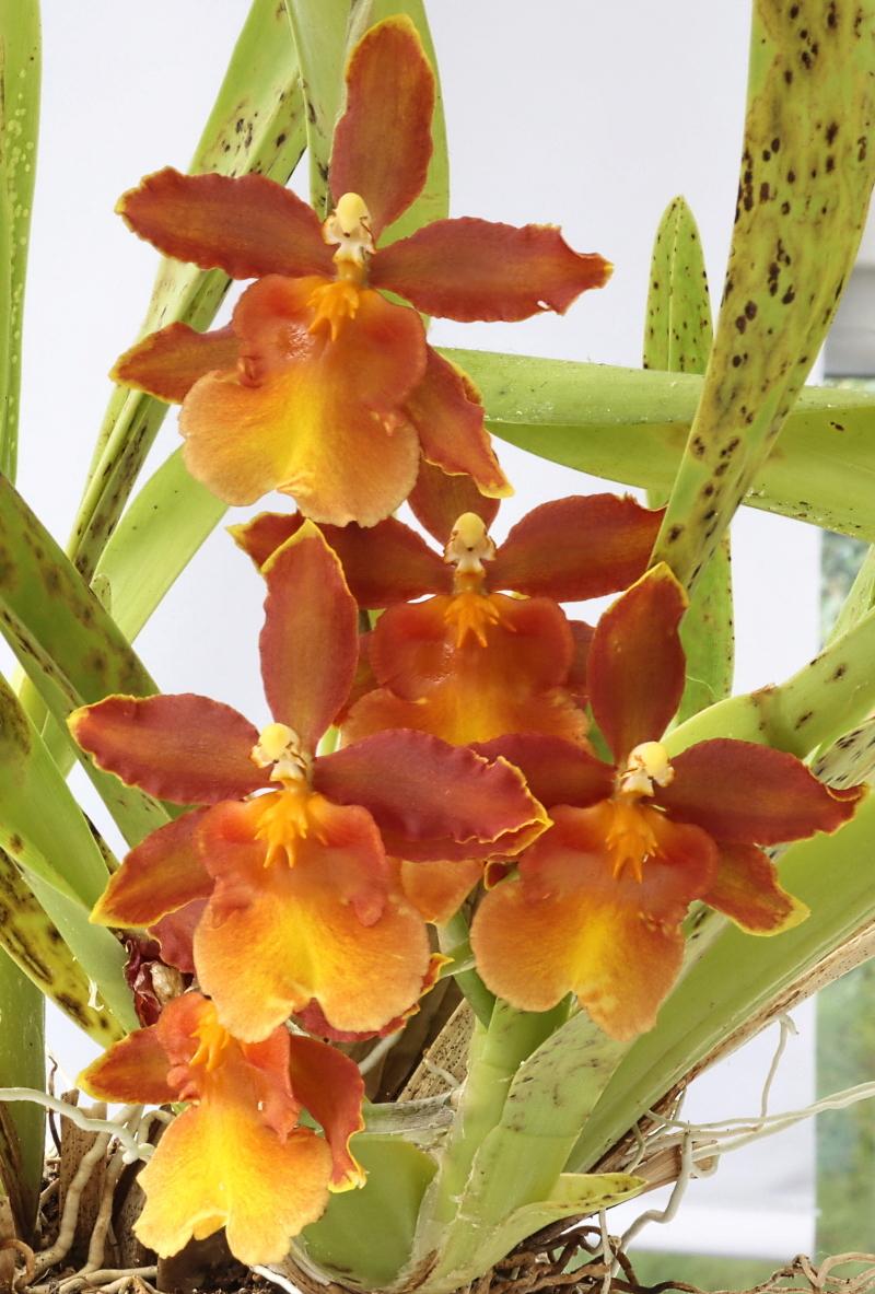 Makrofotografie von Orchideenblüten, kurze allgemeine Anleitung Cambri10