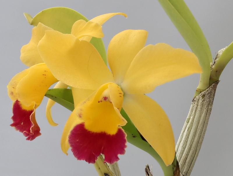 Makrofotografie von Orchideenblüten, kurze allgemeine Anleitung Cattle13