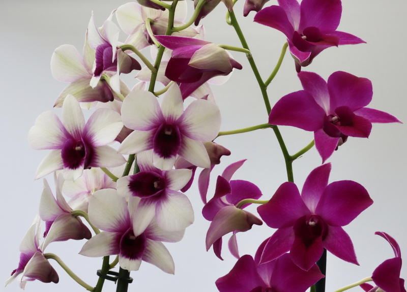 Makrofotografie von Orchideenblüten, kurze allgemeine Anleitung Dendr_10