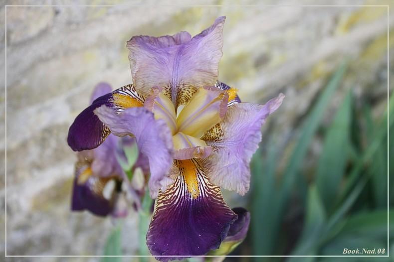 Les iris - Page 2 08052013
