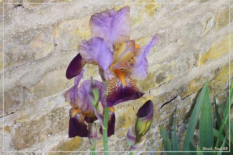 Les iris - Page 2 08052014
