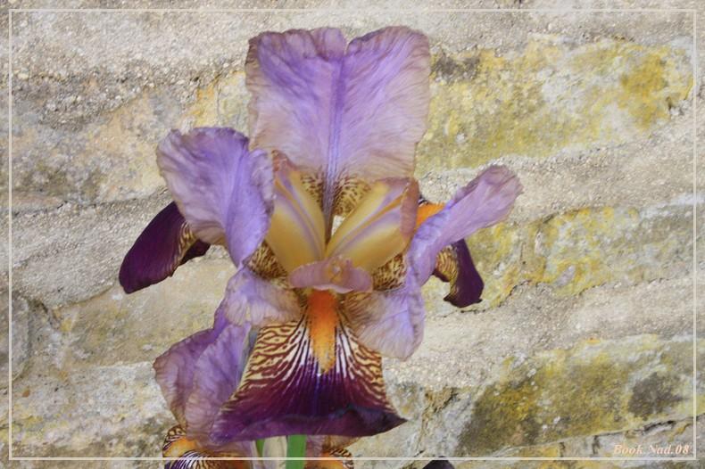 Les iris - Page 2 08052015