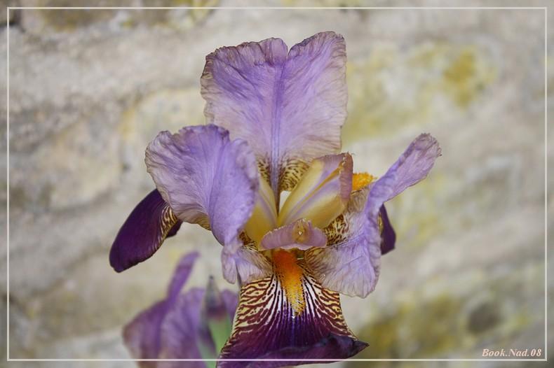 Les iris - Page 2 08052016
