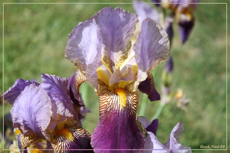 Les iris - Page 2 08052017