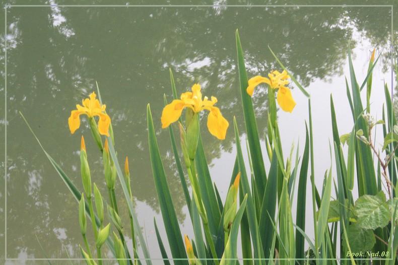 Les iris - Page 2 08052018