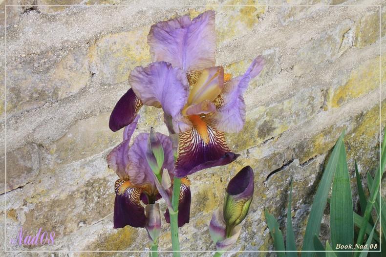 Les iris - Page 2 08052019