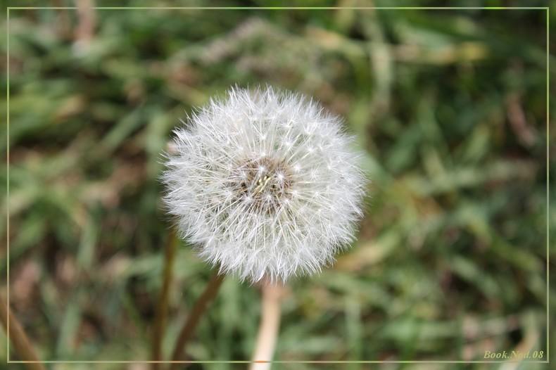 Fleur de pissenlit 13052010