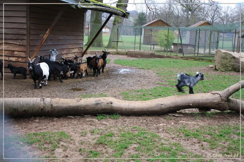 Les chèvres, les biques, les moutons. 19032010