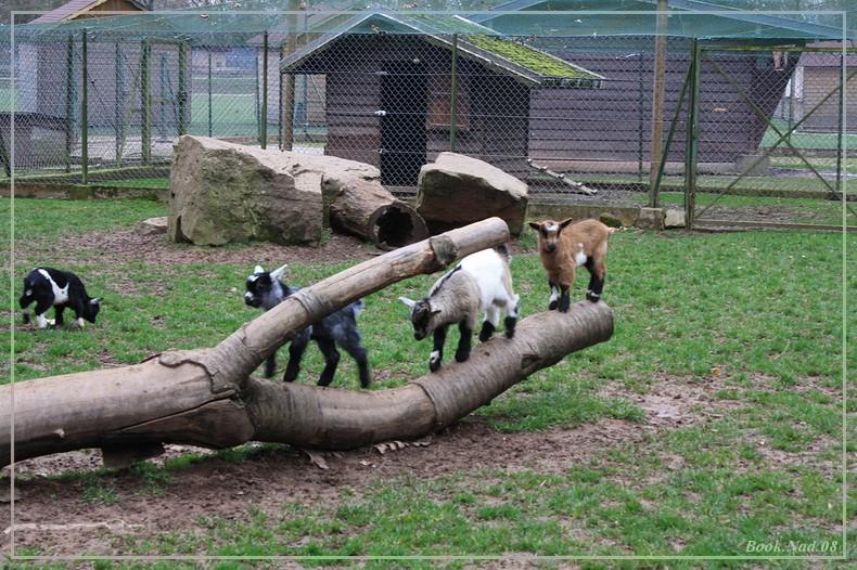 Les chèvres, les biques, les moutons. 19032011