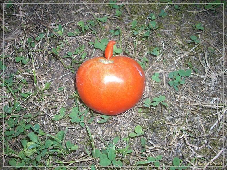 Les tomates du jardin Dscn3910