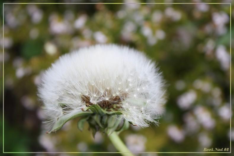 Fleur de pissenlit Img_8011