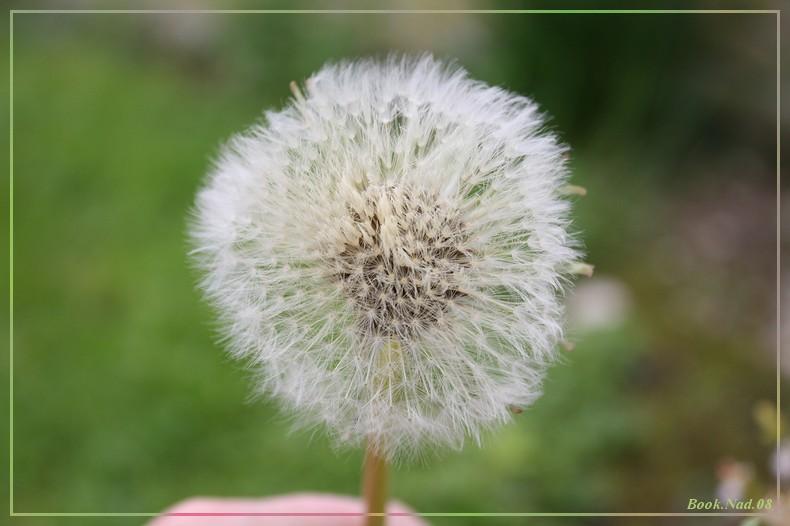 Fleur de pissenlit Img_8012
