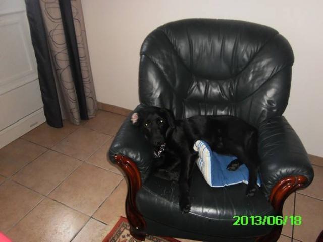 Paco croisé Labrador noir mâle de 1 an (Belgique) Paco12