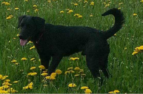 Paco croisé Labrador noir mâle de 1 an (Belgique) Paco310