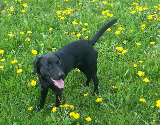 Paco croisé Labrador noir mâle de 1 an (Belgique) Paco_211