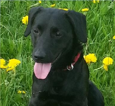 Paco croisé Labrador noir mâle de 1 an (Belgique) Paco_410