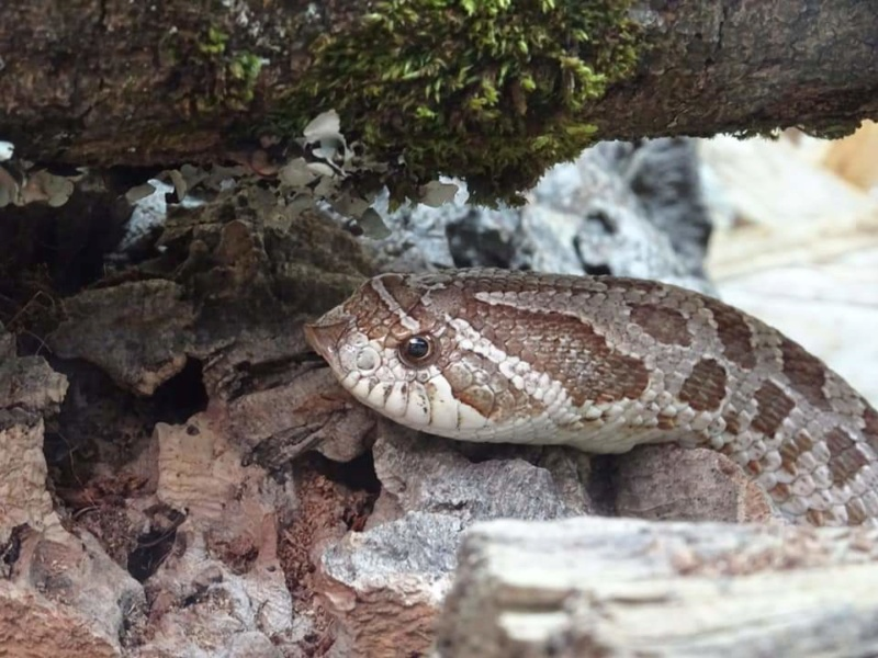 Mon 1er hétérodon nasicus.  Fb_img41