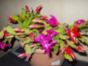 Schlumbergera forever - Page 3 Pc040010