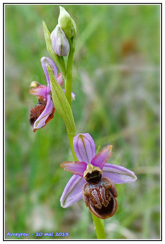 Ophrys aveyronensis ( Ophrys de l'Aveyron ) Aveyro11