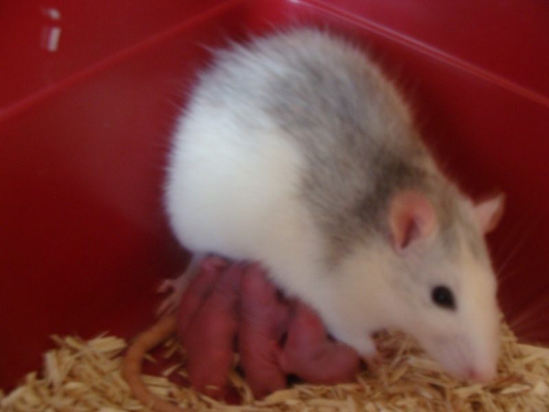 Portée de 11 ratounets nés le 6 Février à placer (95) Dsc06610