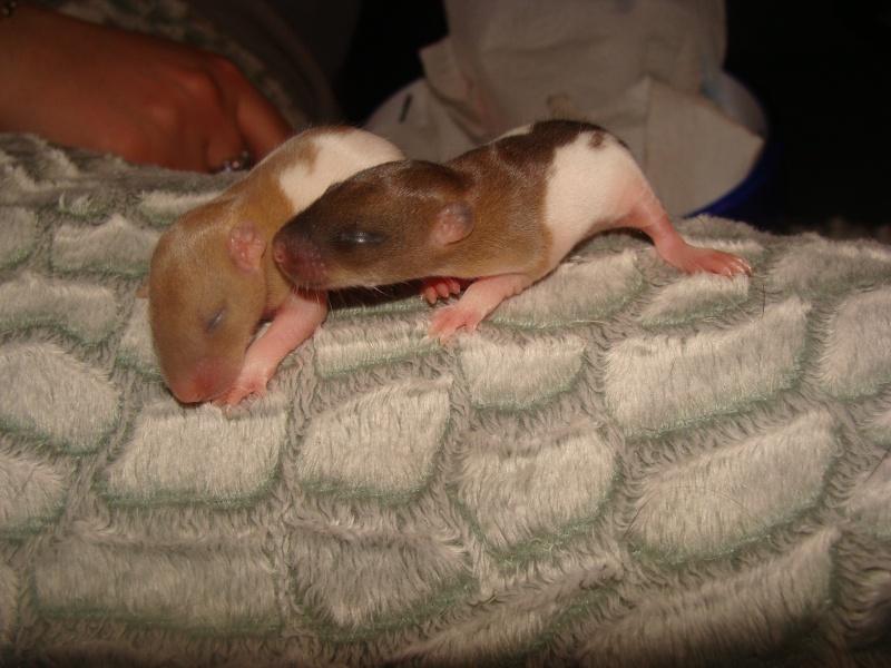 Portée de 11 ratounets nés le 6 Février à placer (95) Kiera_19