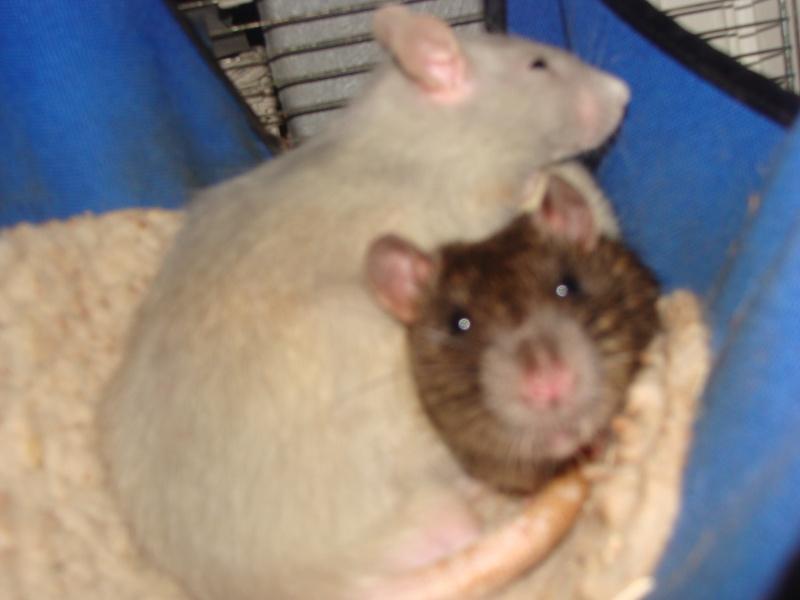 Portée de 11 ratounets nés le 6 Février à placer (95) Papas_10