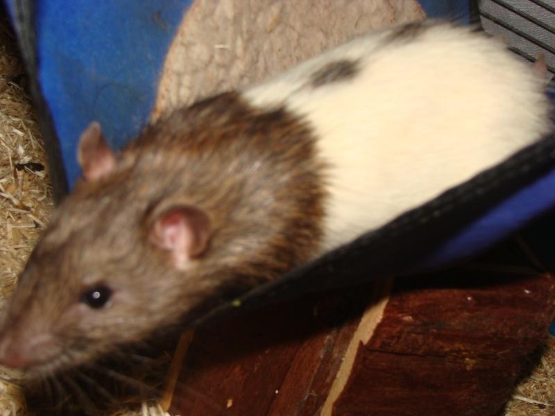 Portée de 11 ratounets nés le 6 Février à placer (95) Papas_11