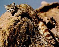Nouvelle espèce de chat sauvage en Équateur ? 200px-10