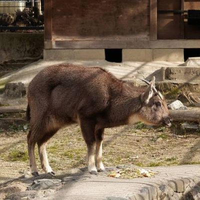 les poils supposés du yéti appartenaient à une chèvre... Chevre10