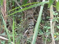 Nouvelle espèce de chat sauvage en Équateur ? New-ca10