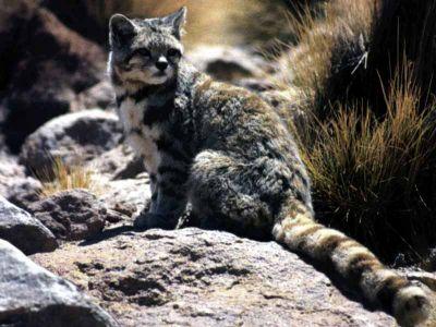 Nouvelle espèce de chat sauvage en Équateur ? Normal11