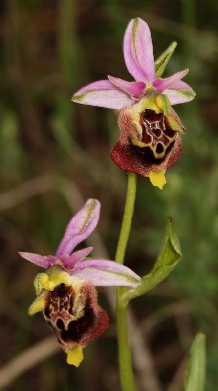 Ophrys druentica (Ophrys de la Durance) O_drue10