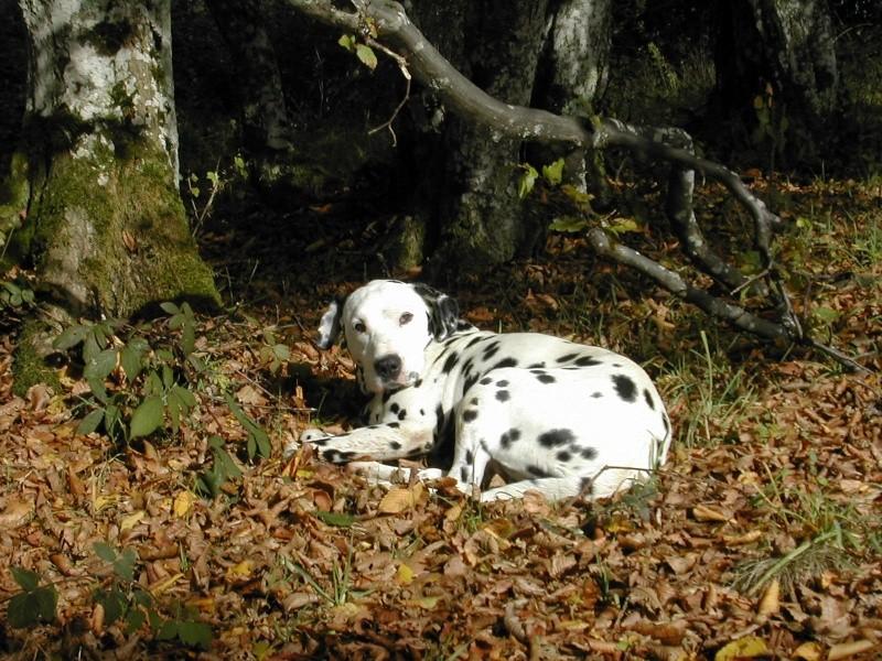 SAM - dalmatien de 6 ans - LA PATTE DE L'ESPOIR - Page 6 Sam_3117