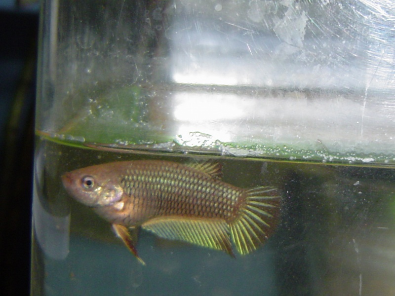 difficultés à sexer ces poissons avec certitude Dsc01210