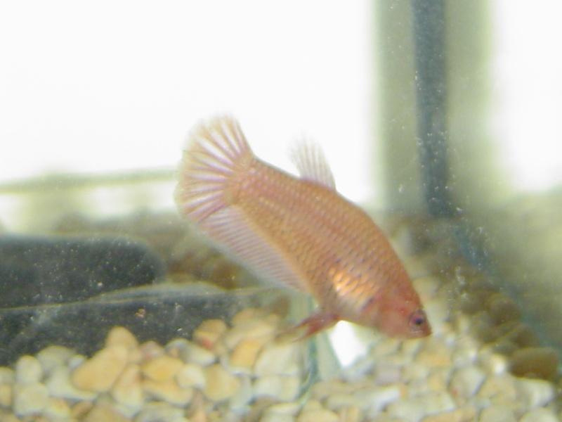 difficultés à sexer ces poissons avec certitude Dsc01213