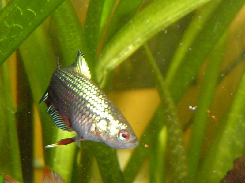 difficultés à sexer ces poissons avec certitude Dsc01215