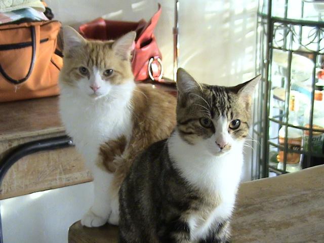 Sondage:votre race de chat préférée Calins14
