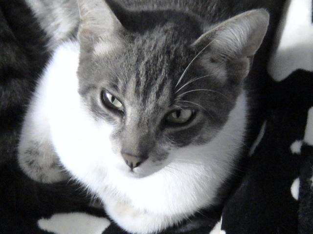 Sondage:votre race de chat préférée Rourou12