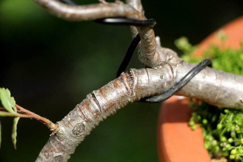 Sorbier des oiseleurs semis-cascade Sorbie19