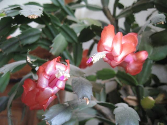 Schlumbergera et Rhipsalidopsis 1_1012